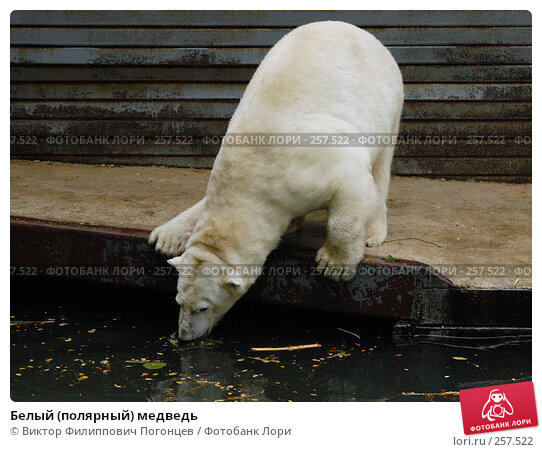 Белый (полярный) медведь, фото № 257522, снято 20 июня 2007 г. (c) Виктор Филиппович Погонцев / Фотобанк Лори