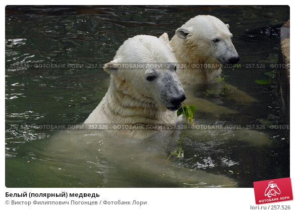 Белый (полярный) медведь, фото № 257526, снято 20 июня 2007 г. (c) Виктор Филиппович Погонцев / Фотобанк Лори