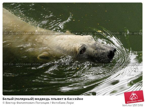 Белый (полярный) медведь плывет в бассейне, фото № 257510, снято 20 июня 2007 г. (c) Виктор Филиппович Погонцев / Фотобанк Лори