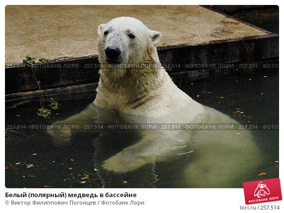 Белый (полярный) медведь в бассейне, фото № 257514, снято 20 июня 2007 г. (c) Виктор Филиппович Погонцев / Фотобанк Лори