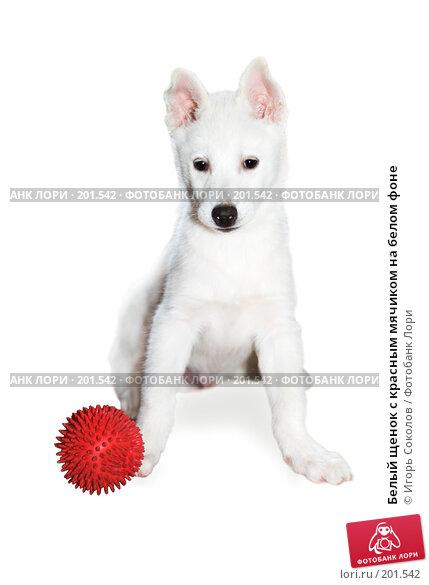 Белый щенок с красным мячиком на белом фоне, фото № 201542, снято 6 ноября 2007 г. (c) Игорь Соколов / Фотобанк Лори