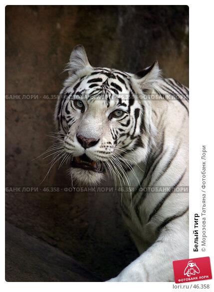 Белый тигр, фото № 46358, снято 9 июля 2005 г. (c) Морозова Татьяна / Фотобанк Лори