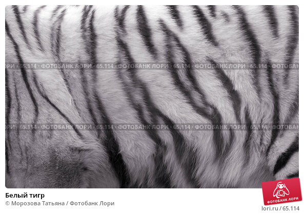 Белый тигр, фото № 65114, снято 31 марта 2007 г. (c) Морозова Татьяна / Фотобанк Лори