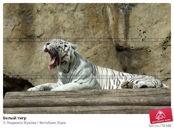 Белый тигр, фото № 70586, снято 1 августа 2007 г. (c) Людмила Жукова / Фотобанк Лори