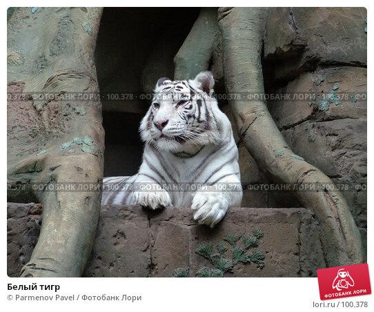 Белый тигр, фото № 100378, снято 9 марта 2007 г. (c) Parmenov Pavel / Фотобанк Лори