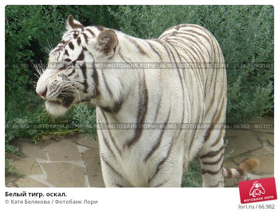 Белый тигр. оскал., фото № 66982, снято 28 июля 2007 г. (c) Катя Белякова / Фотобанк Лори