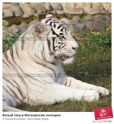 Белый тигр в Московском зоопарке, фото № 136086, снято 2 октября 2007 г. (c) Елена Блохина / Фотобанк Лори