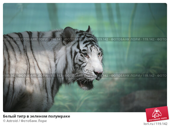 Белый тигр в зеленом полумраке, фото № 119142, снято 16 марта 2007 г. (c) Astroid / Фотобанк Лори