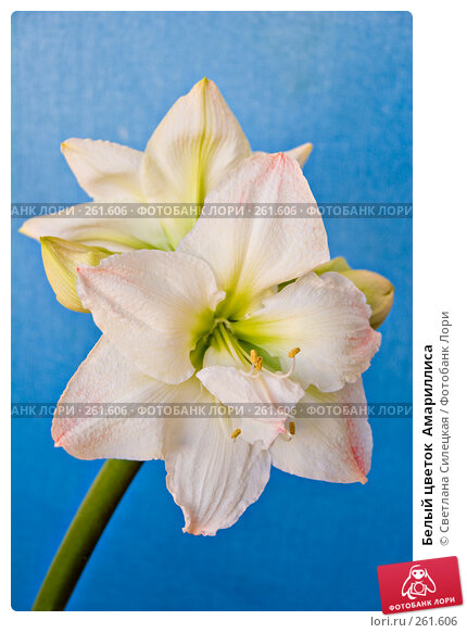 Белый цветок  Амариллиса, фото № 261606, снято 24 апреля 2008 г. (c) Светлана Силецкая / Фотобанк Лори