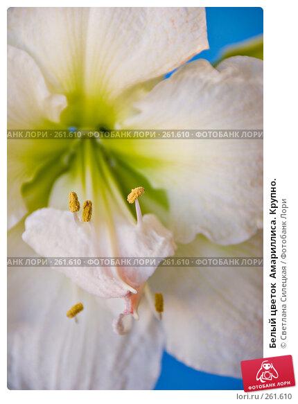 Белый цветок  Амариллиса. Крупно., фото № 261610, снято 24 апреля 2008 г. (c) Светлана Силецкая / Фотобанк Лори