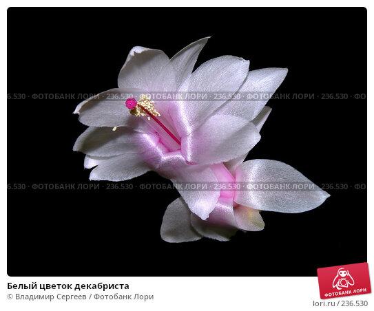 Белый цветок декабриста, фото № 236530, снято 28 марта 2008 г. (c) Владимир Сергеев / Фотобанк Лори