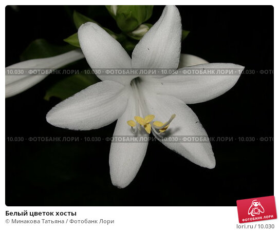 Белый цветок хосты, фото № 10030, снято 19 августа 2006 г. (c) Минакова Татьяна / Фотобанк Лори