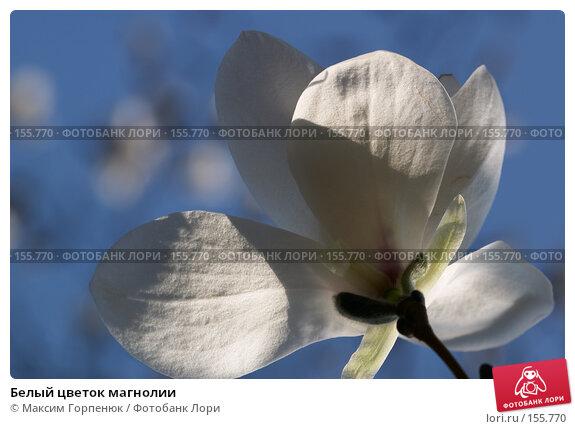 Белый цветок магнолии, фото № 155770, снято 5 апреля 2007 г. (c) Максим Горпенюк / Фотобанк Лори
