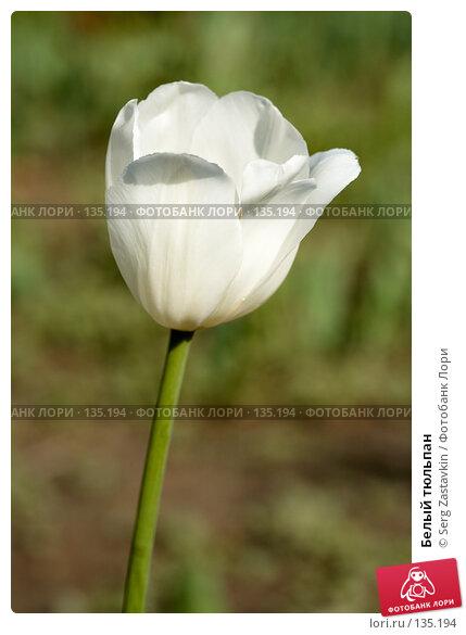 Белый тюльпан, фото № 135194, снято 8 июня 2006 г. (c) Serg Zastavkin / Фотобанк Лори