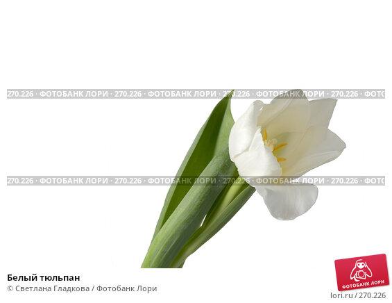Белый тюльпан, фото № 270226, снято 13 января 2008 г. (c) Cветлана Гладкова / Фотобанк Лори