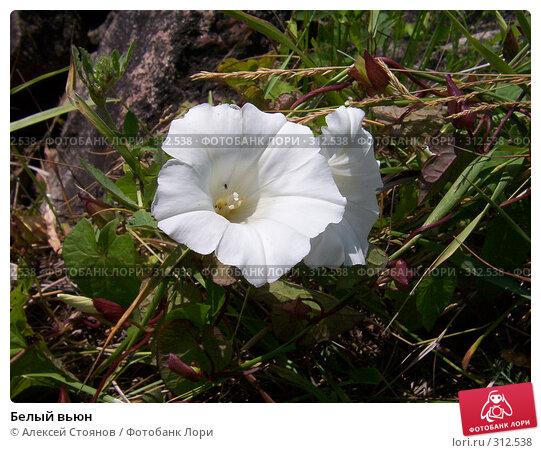 Белый вьюн, фото № 312538, снято 10 июля 2004 г. (c) Алексей Стоянов / Фотобанк Лори