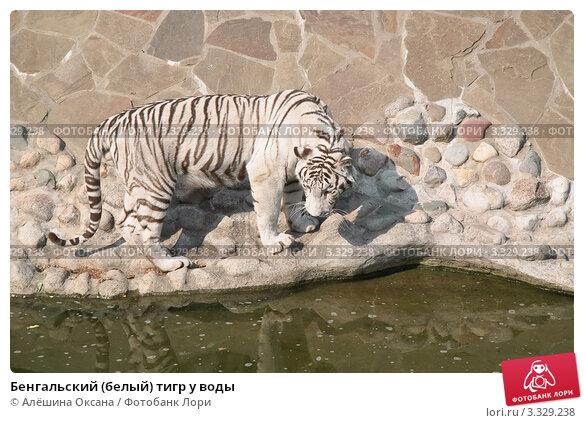 Купить «Бенгальский (белый) тигр у воды», эксклюзивное фото № 3329238, снято 3 июля 2011 г. (c) Алёшина Оксана / Фотобанк Лори