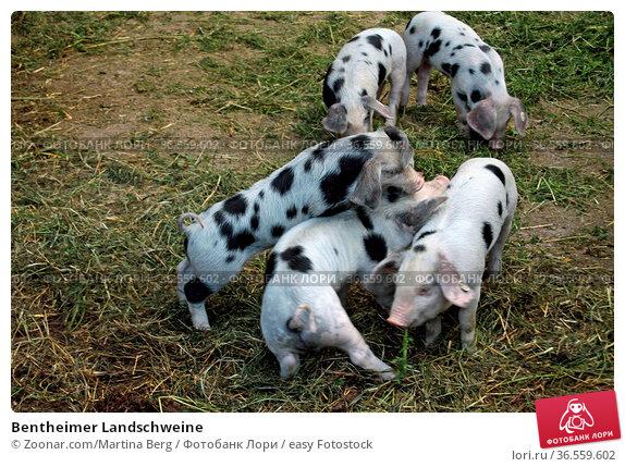 Bentheimer Landschweine. Стоковое фото, фотограф Zoonar.com/Martina Berg / easy Fotostock / Фотобанк Лори