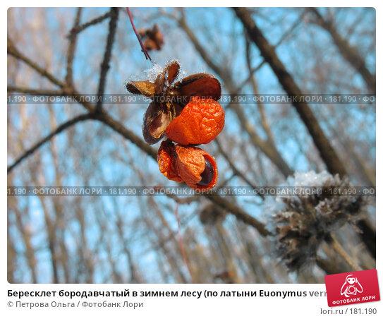 Бересклет бородавчатый в зимнем лесу (по латыни Euonymus verrucosa Scop), фото № 181190, снято 2 января 2008 г. (c) Петрова Ольга / Фотобанк Лори