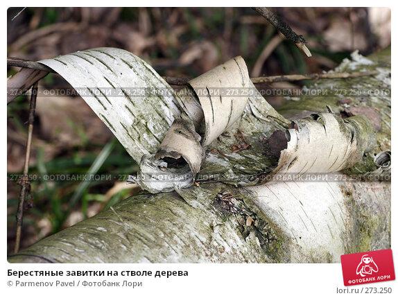 Берестяные завитки на стволе дерева, фото № 273250, снято 2 мая 2008 г. (c) Parmenov Pavel / Фотобанк Лори
