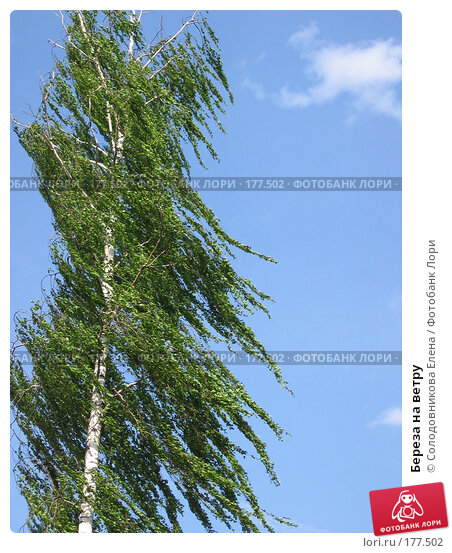Береза на ветру, фото № 177502, снято 28 мая 2005 г. (c) Солодовникова Елена / Фотобанк Лори