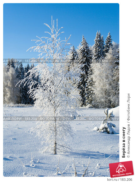Берёза в снегу, фото № 183206, снято 8 января 2008 г. (c) Александр Лядов / Фотобанк Лори