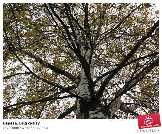 Береза. Вид снизу, фото № 234318, снято 9 октября 2006 г. (c) VPutnik / Фотобанк Лори
