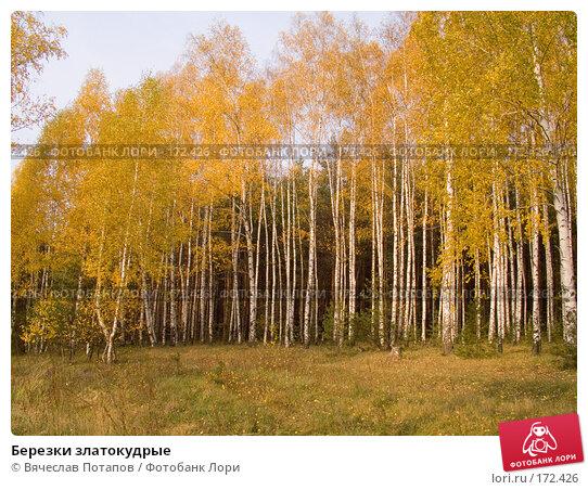 Березки златокудрые, фото № 172426, снято 20 октября 2007 г. (c) Вячеслав Потапов / Фотобанк Лори