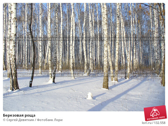 Купить «Березовая роща», фото № 132558, снято 25 ноября 2007 г. (c) Сергей Девяткин / Фотобанк Лори