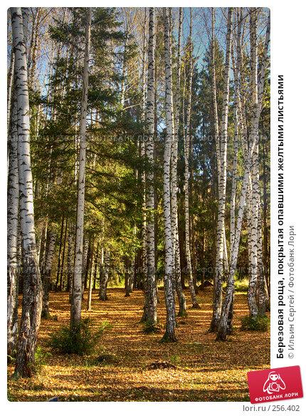 Березовая роща, покрытая опавшими желтыми листьями, фото № 256402, снято 27 июля 2017 г. (c) Ильин Сергей / Фотобанк Лори