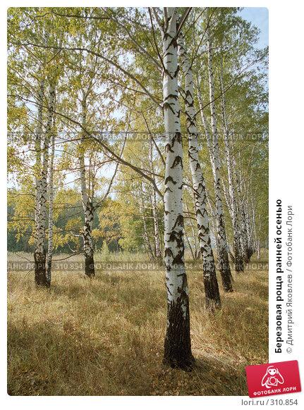 Купить «Березовая роща ранней осенью», фото № 310854, снято 27 апреля 2018 г. (c) Дмитрий Яковлев / Фотобанк Лори