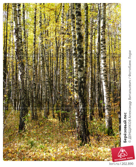 Берёзовый лес, фото № 202890, снято 29 сентября 2007 г. (c) ДЕНЩИКОВ Александр Витальевич / Фотобанк Лори