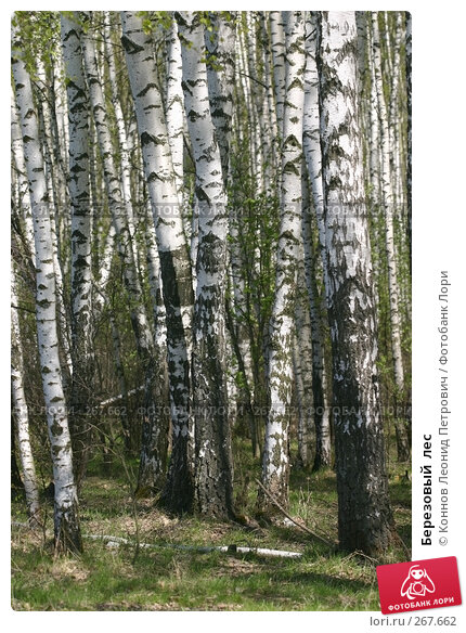 Березовый  лес, фото № 267662, снято 25 апреля 2008 г. (c) Коннов Леонид Петрович / Фотобанк Лори