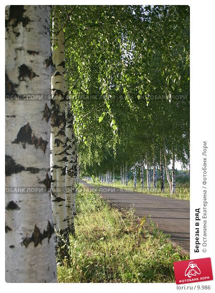 Березы в ряд, фото № 9986, снято 1 августа 2005 г. (c) Останина Екатерина / Фотобанк Лори