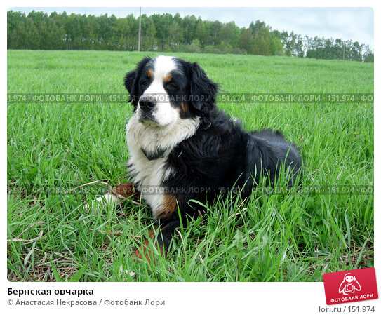 Бернская овчарка, фото № 151974, снято 22 мая 2006 г. (c) Анастасия Некрасова / Фотобанк Лори