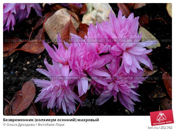 Безвременник (колхикум осенний) махровый, фото № 252742, снято 8 ноября 2004 г. (c) Ольга Дроздова / Фотобанк Лори