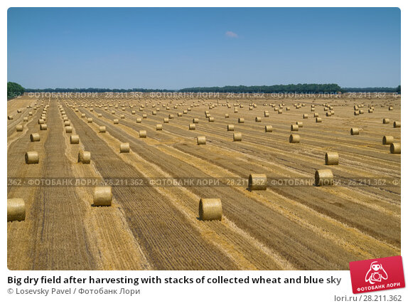 Купить «Big dry field after harvesting with stacks of collected wheat and blue sky», фото № 28211362, снято 8 июля 2015 г. (c) Losevsky Pavel / Фотобанк Лори