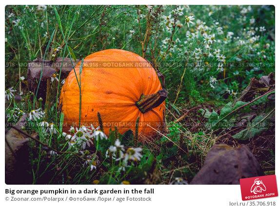 Big orange pumpkin in a dark garden in the fall. Стоковое фото, фотограф Zoonar.com/Polarpx / age Fotostock / Фотобанк Лори