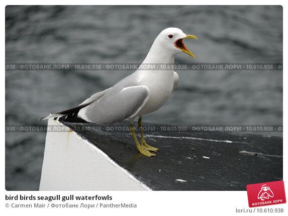bird birds seagull gull waterfowls. Стоковое фото, фотограф Carmen Mair / PantherMedia / Фотобанк Лори