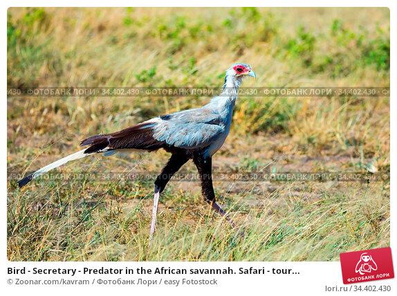 Bird - Secretary - Predator in the African savannah. Safari - tour... Стоковое фото, фотограф Zoonar.com/kavram / easy Fotostock / Фотобанк Лори