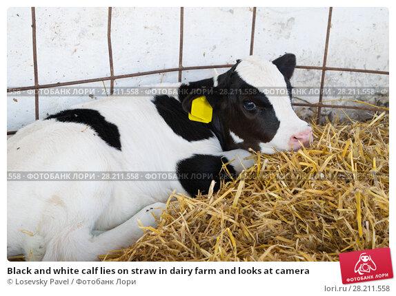 Купить «Black and white calf lies on straw in dairy farm and looks at camera», фото № 28211558, снято 7 июля 2015 г. (c) Losevsky Pavel / Фотобанк Лори