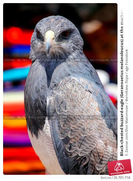 Black-chested buzzard-eagle (Geranoaetus melanoleucus) at the market... Стоковое фото, фотограф Zoonar.com/Don Mammoser / age Fotostock / Фотобанк Лори