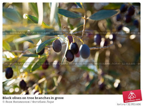 Black olives on tree branches in grove. Стоковое фото, фотограф Яков Филимонов / Фотобанк Лори