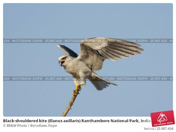 Купить «Black-shouldered kite (Elanus axillaris) Ranthambore National Park, India», фото № 25907434, снято 22 апреля 2019 г. (c) BE&W Photo / Фотобанк Лори