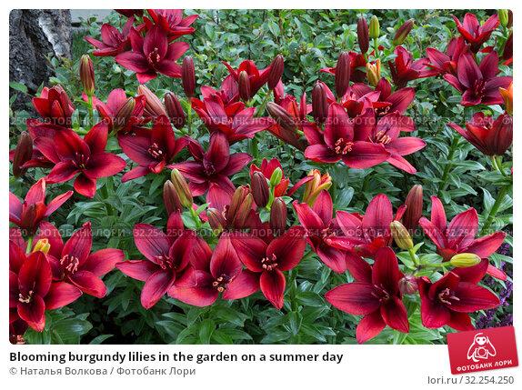 Купить «Blooming burgundy lilies in the garden on a summer day», фото № 32254250, снято 12 июля 2019 г. (c) Наталья Волкова / Фотобанк Лори