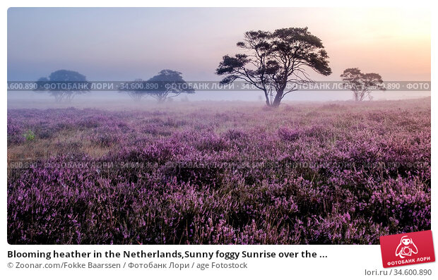 Blooming heather in the Netherlands,Sunny foggy Sunrise over the ... Стоковое фото, фотограф Zoonar.com/Fokke Baarssen / age Fotostock / Фотобанк Лори