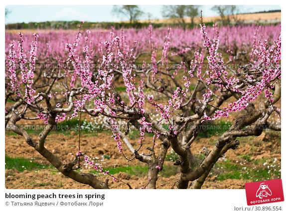 Купить «blooming peach trees in spring», фото № 30896554, снято 17 марта 2018 г. (c) Татьяна Яцевич / Фотобанк Лори