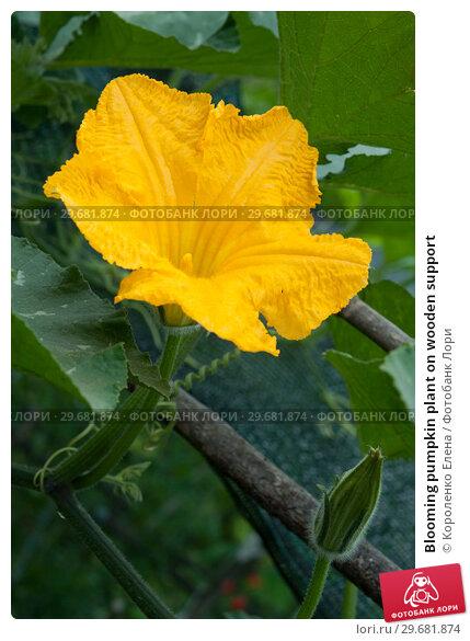 Купить «Blooming pumpkin plant on wooden support», фото № 29681874, снято 29 июля 2018 г. (c) Короленко Елена / Фотобанк Лори
