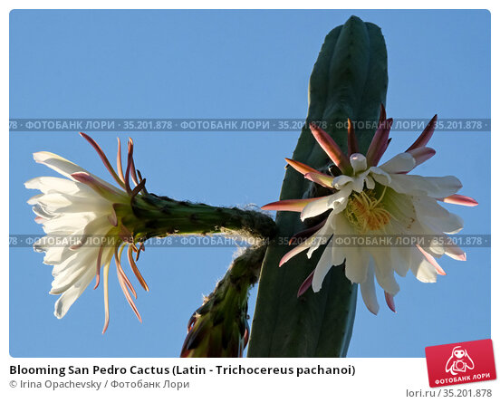 Blooming San Pedro Cactus (Latin - Trichocereus pachanoi) Стоковое фото, фотограф Irina Opachevsky / Фотобанк Лори