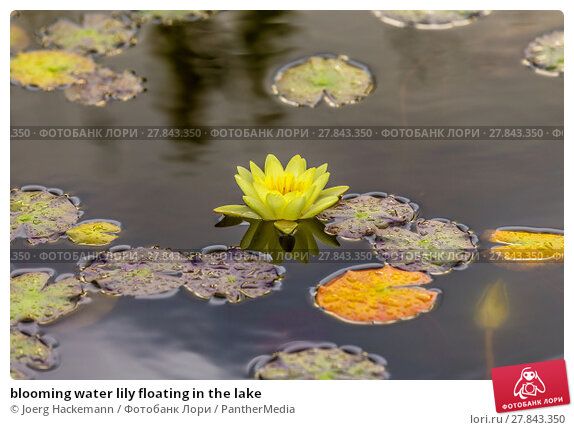 Купить «blooming water lily floating in the lake», фото № 27843350, снято 19 февраля 2018 г. (c) PantherMedia / Фотобанк Лори